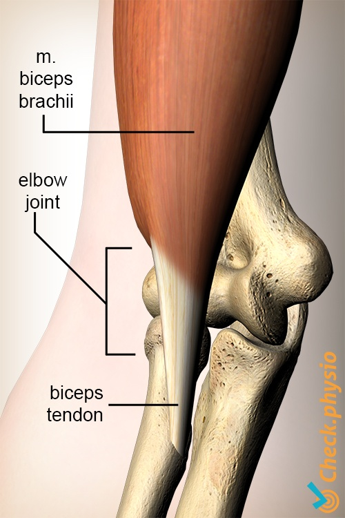 Distal Biceps Injury Physio Check