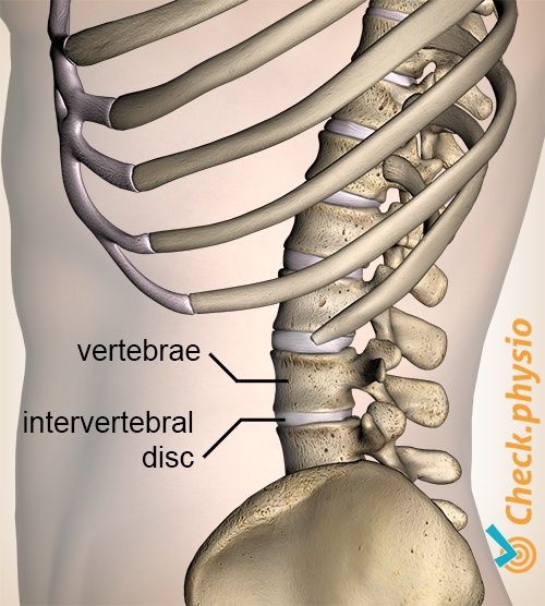 back spine vertebrea vertebra vertebrae intervertebral disc discus lateral view