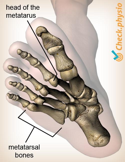 foot feet metatarsal head metatarsus anatomy view dorsum