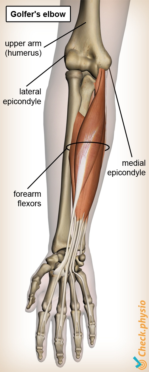 forearm golfer s elbow anatomy flexors