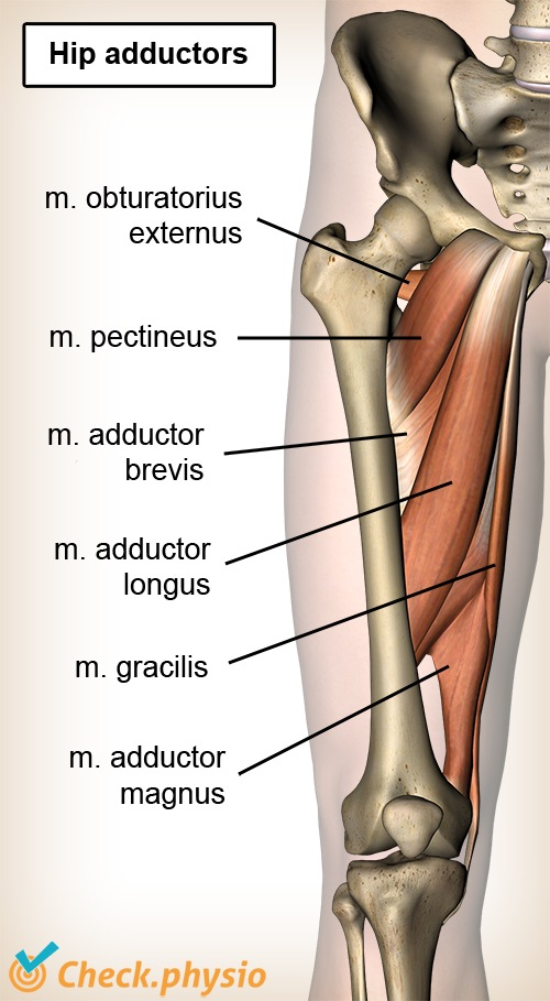 hip adductors anatomy front