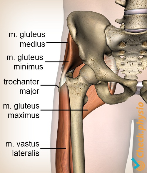 hip gluteus medius minimus maximus trochanter major vastus lateralis