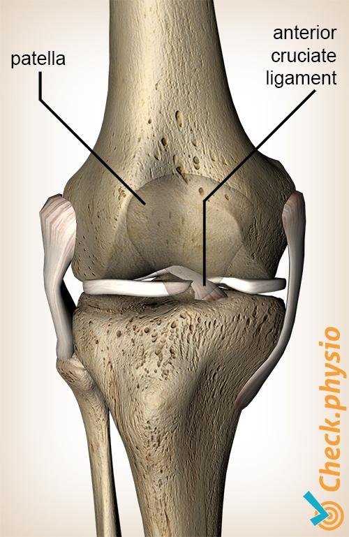 knee anterior cruciate ligament ligamentum cruciatum anterius