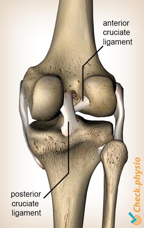 knee cruciate ligament ligaments anterior posterior