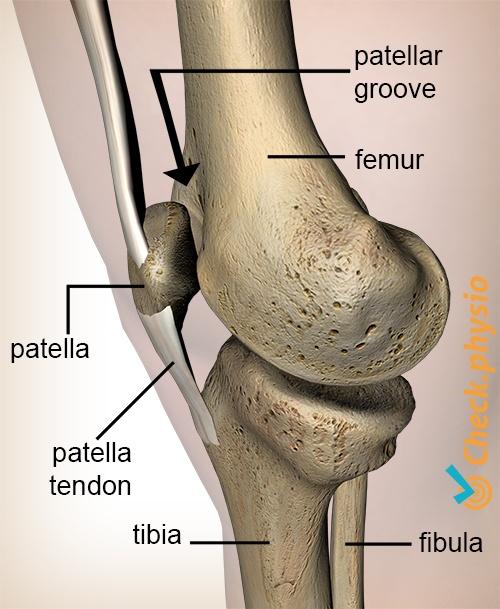 knee fascia patellaris femoris groove patella