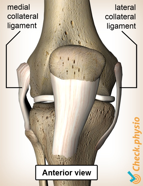 knee ligaments medial lateral collateral ligament anterior