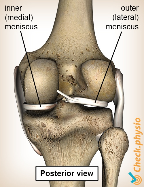 knee meniscus back