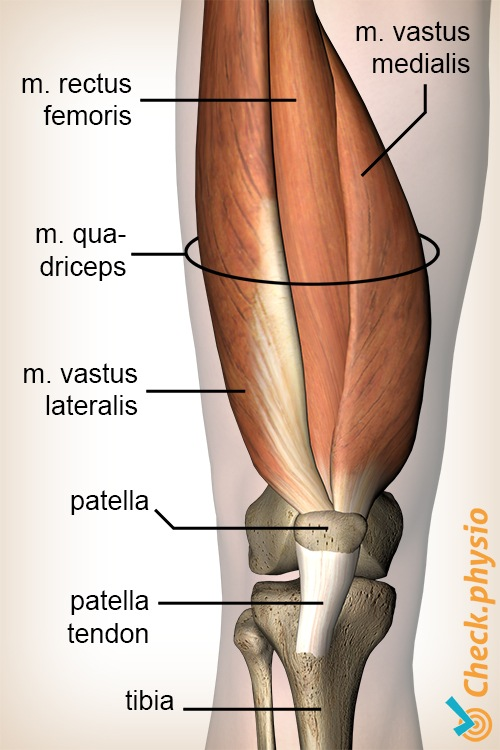 knee quadriceps muscle rectus femoris vastus lateralis medialis anatomy