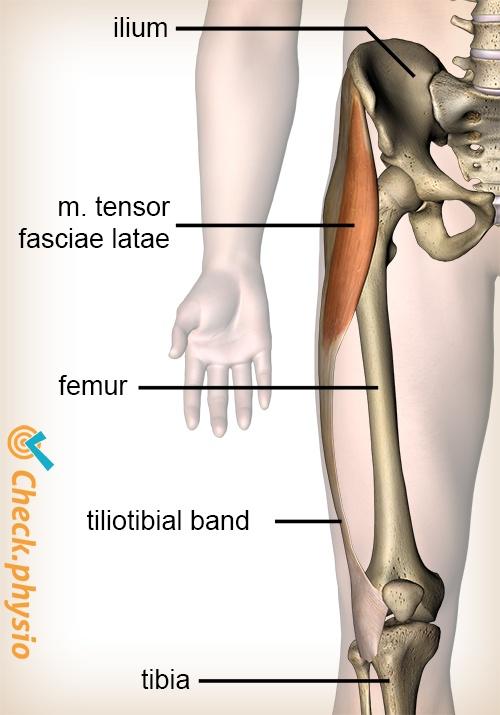 knee tractus iliotibialis musculus tensor fasciae latae muscle