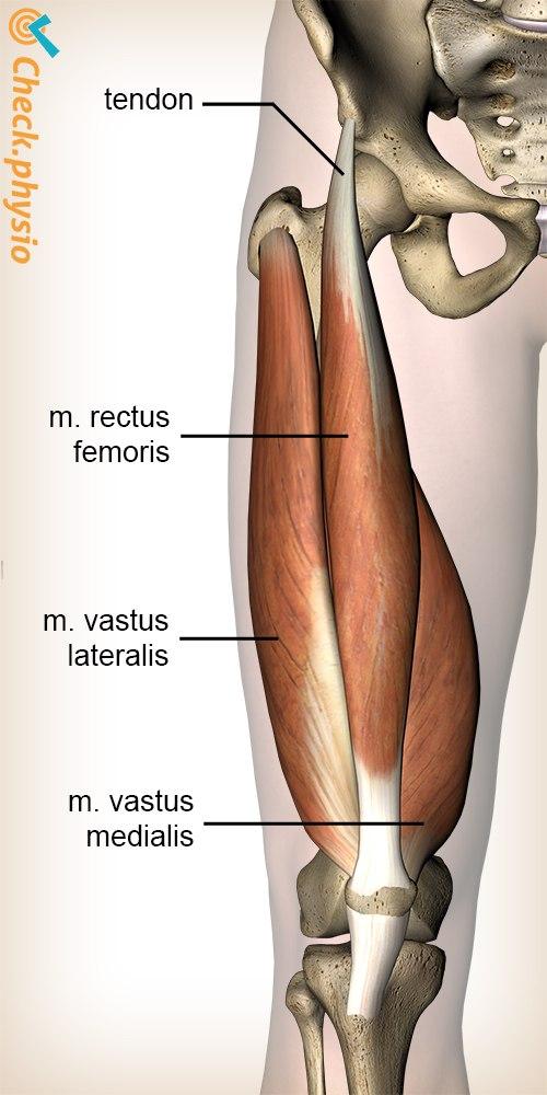 leg quadriceps muscle rectus femoris vastus lateralis medialis