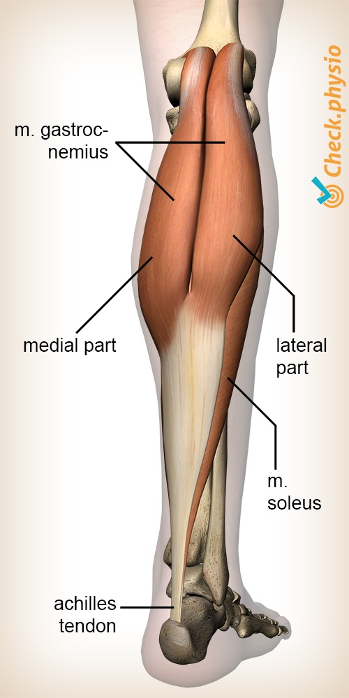 lower leg calf muscle gastrocnemius calf anatomy