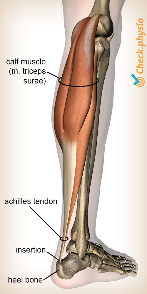 lower leg triceps surae calf mucscle achilles tendon