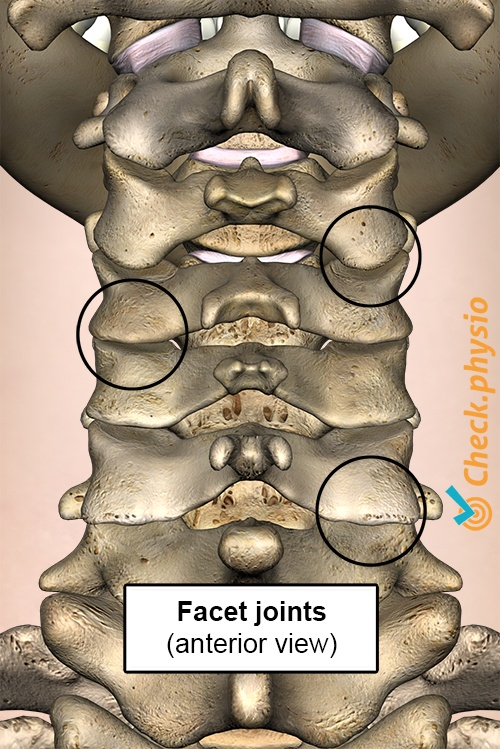 neck facet joint anterior view cervical