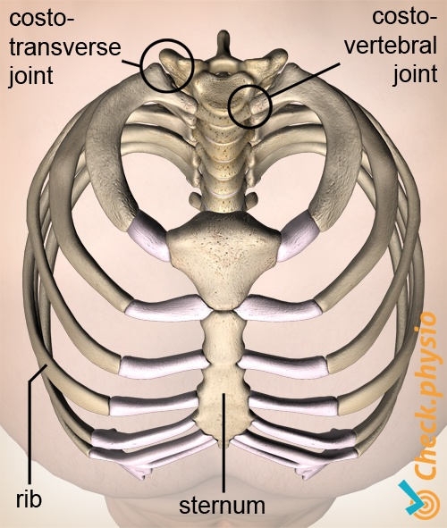 ribs top view breast bone sternum costotransverse costotransversal joint