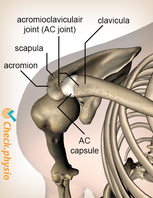 shoulder acromioclaviculair ac joint ligament top view