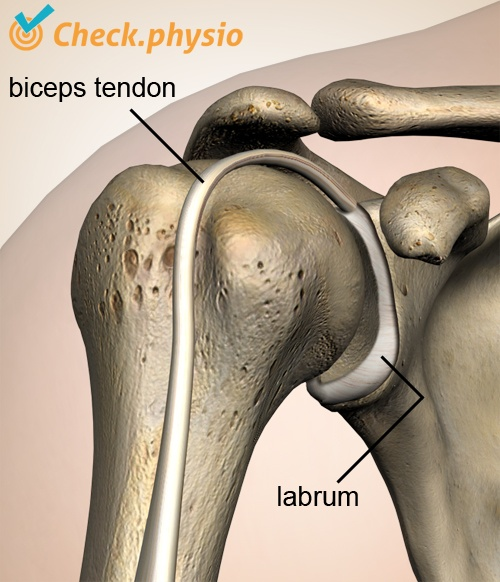 shoulder labrum biceps tendon