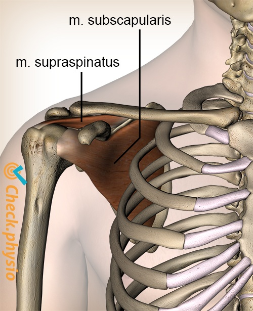 shoulder rotatorcuff rotator cuff muscles supraspinatus subscapularis muscle anterior view