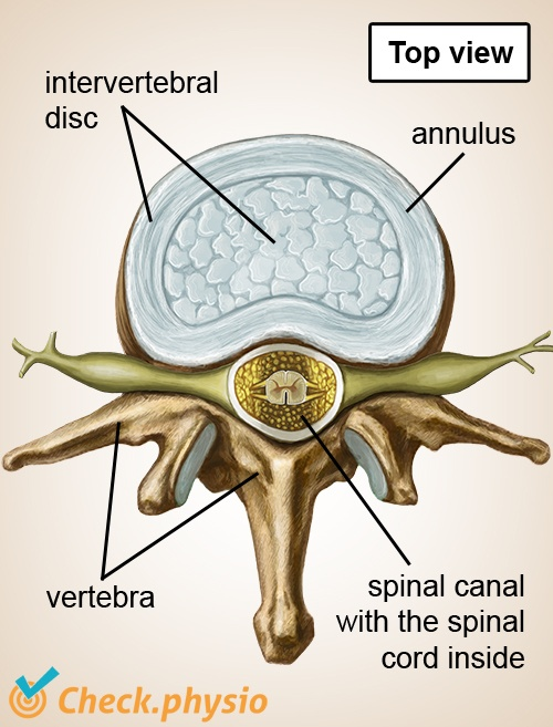 spine intervertebral disc nerves spinal cord top view