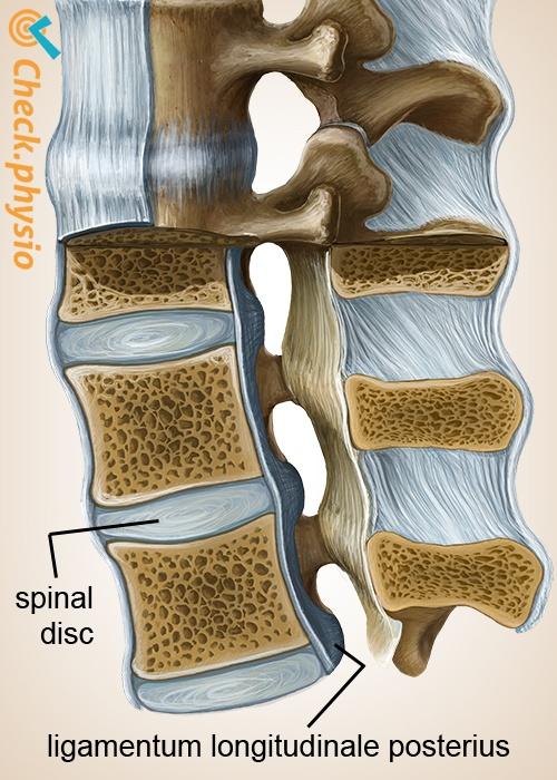 wervelkolom ligamentum longitudinale posterius spinal disc