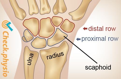wrist proximal distal row